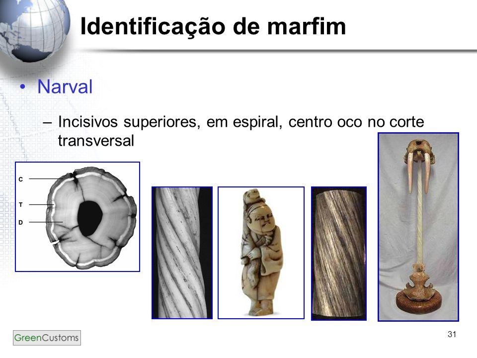 31 Identificação de marfim Narval –Incisivos superiores, em espiral, centro oco no corte transversal