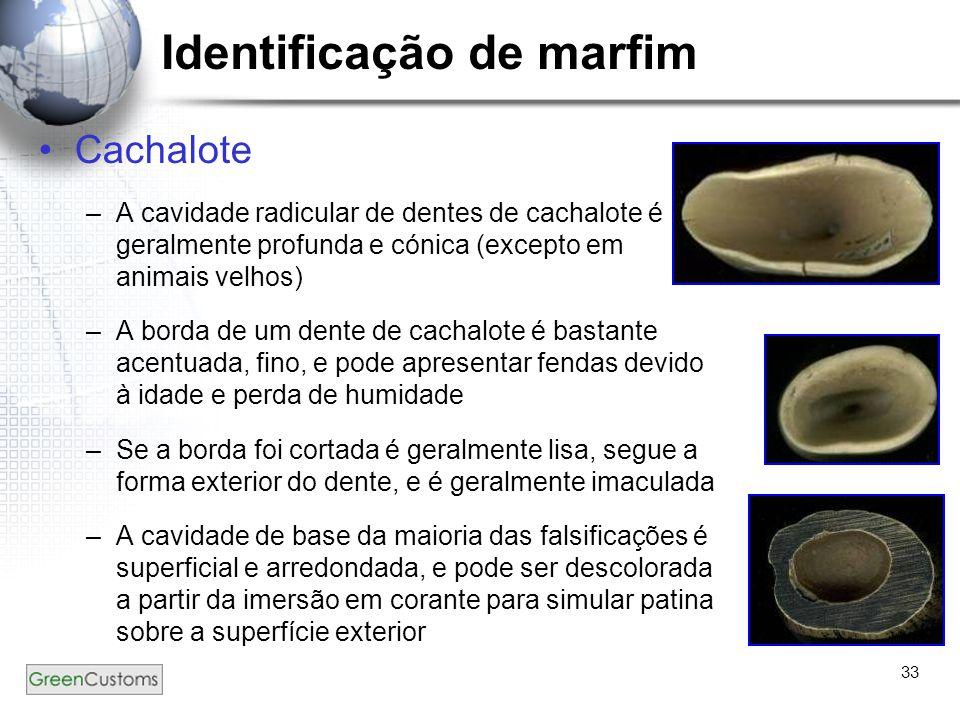 33 Identificação de marfim Cachalote –A cavidade radicular de dentes de cachalote é geralmente profunda e cónica (excepto em animais velhos) –A borda