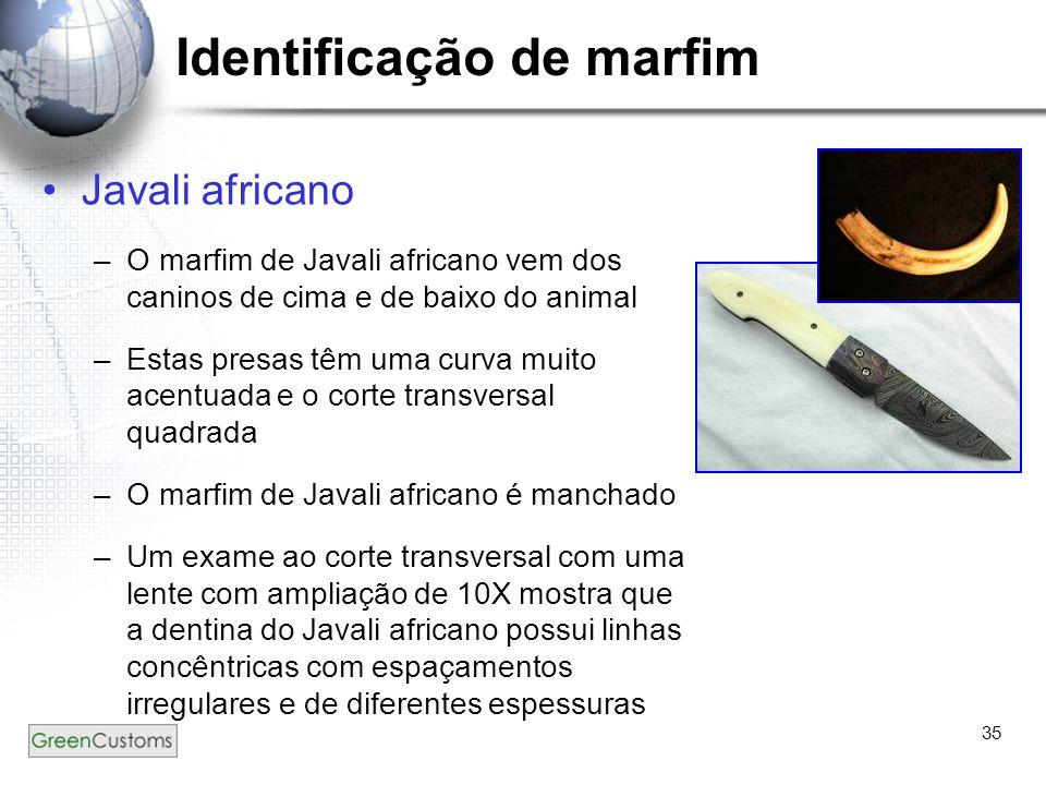 35 Identificação de marfim Javali africano –O marfim de Javali africano vem dos caninos de cima e de baixo do animal –Estas presas têm uma curva muito