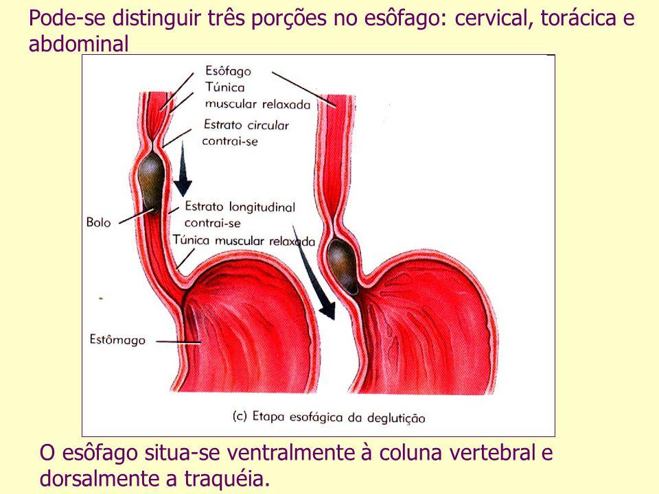 O esôfago situa-se ventralmente à coluna vertebral e dorsalmente a traquéia. Pode-se distinguir três porções no esôfago: cervical, torácica e abdomina