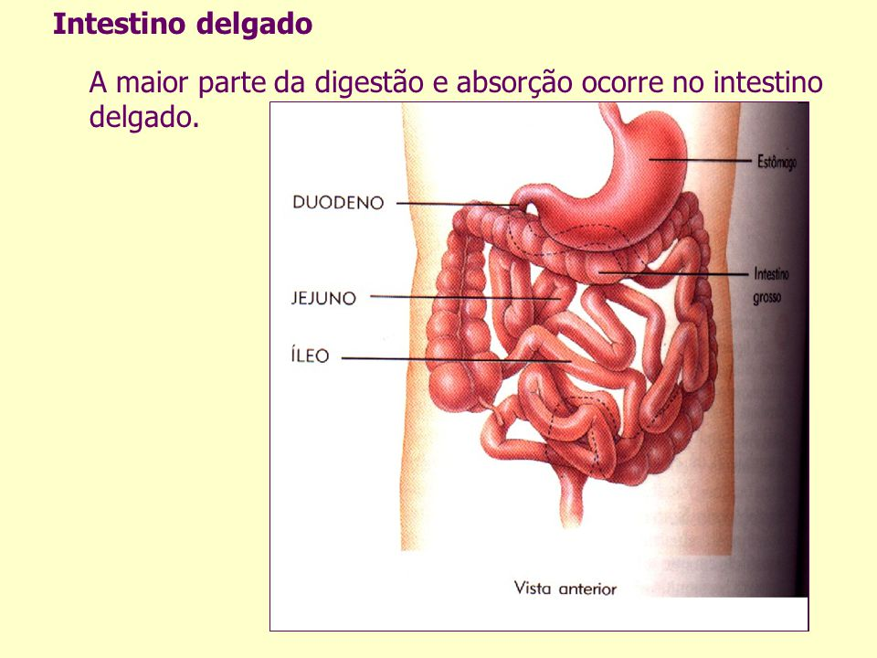 Intestino delgado A maior parte da digestão e absorção ocorre no intestino delgado.