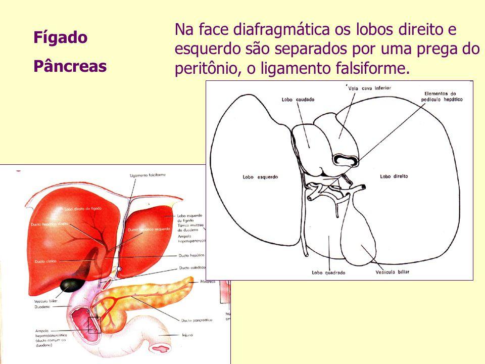 Na face diafragmática os lobos direito e esquerdo são separados por uma prega do peritônio, o ligamento falsiforme. Fígado Pâncreas