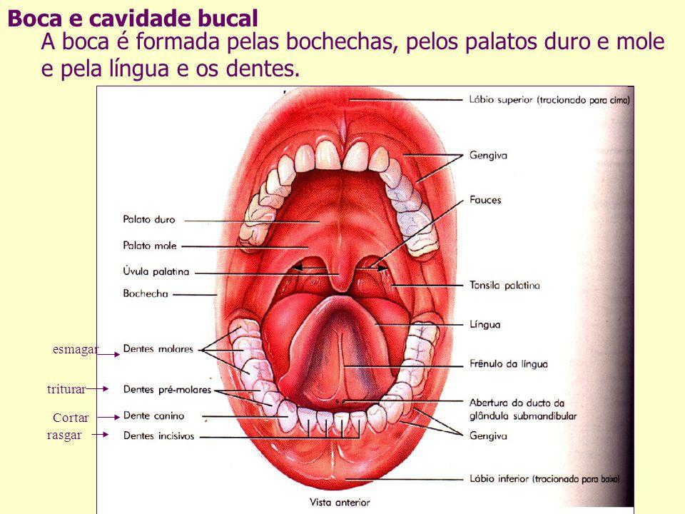 Boca e cavidade bucal A boca é formada pelas bochechas, pelos palatos duro e mole e pela língua e os dentes. Cortar rasgar triturar esmagar