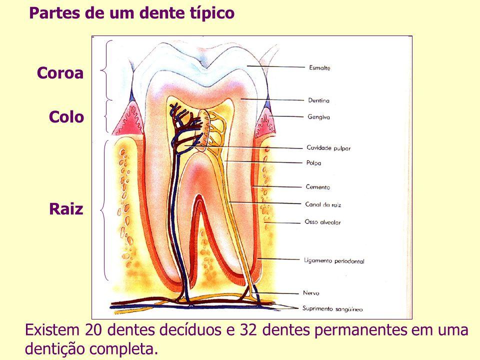Partes de um dente típico Existem 20 dentes decíduos e 32 dentes permanentes em uma dentição completa. Coroa Colo Raiz