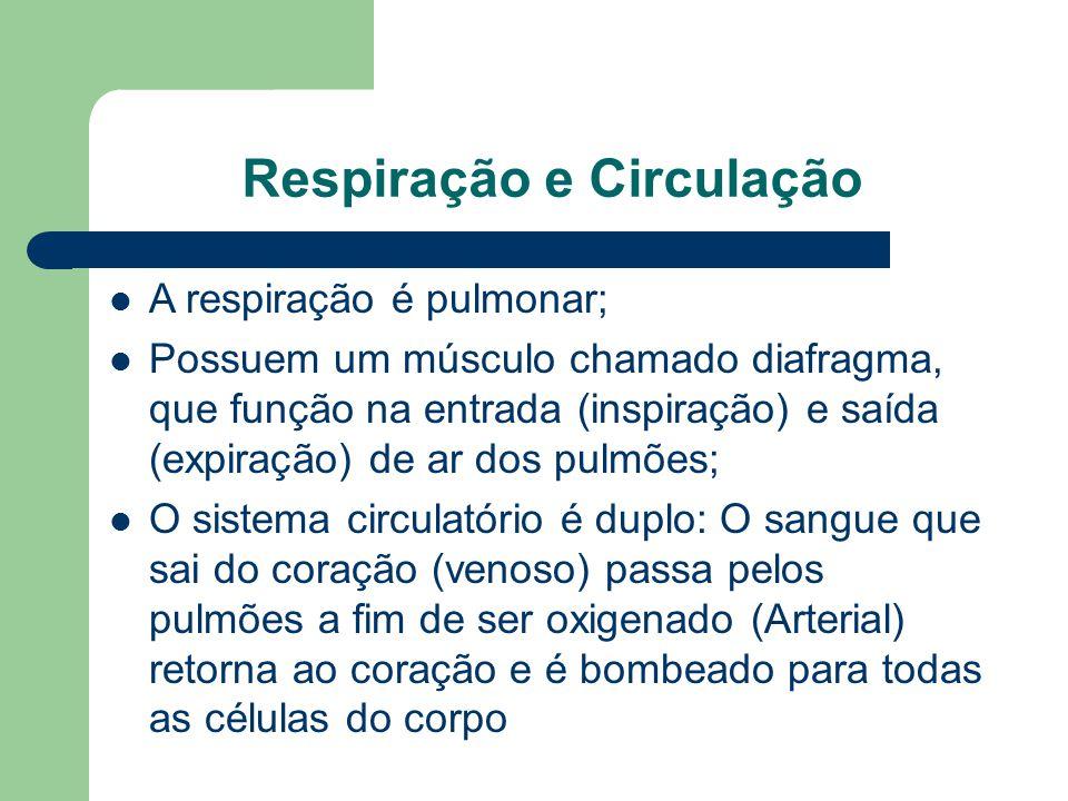 Respiração e Circulação A respiração é pulmonar; Possuem um músculo chamado diafragma, que função na entrada (inspiração) e saída (expiração) de ar do