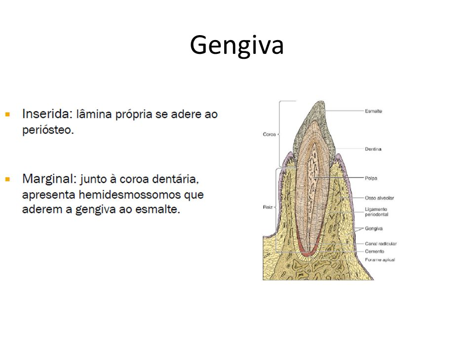 Gengiva