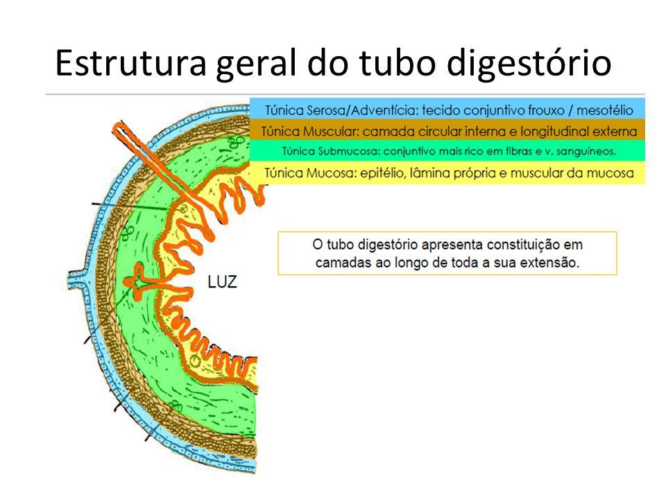 Estrutura geral do tubo digestório