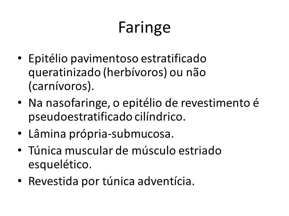 Faringe Epitélio pavimentoso estratificado queratinizado (herbívoros) ou não (carnívoros). Na nasofaringe, o epitélio de revestimento é pseudoestratif