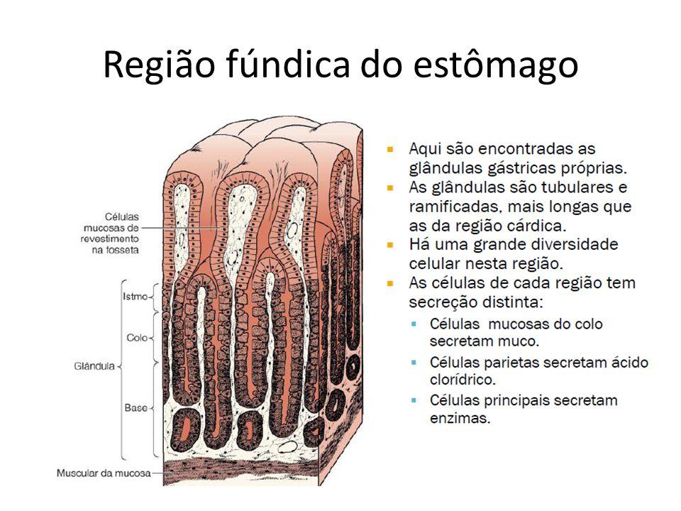 Região fúndica do estômago