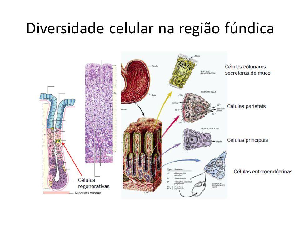Diversidade celular na região fúndica