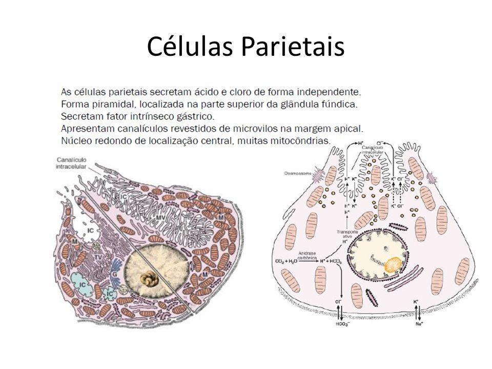 Células Parietais