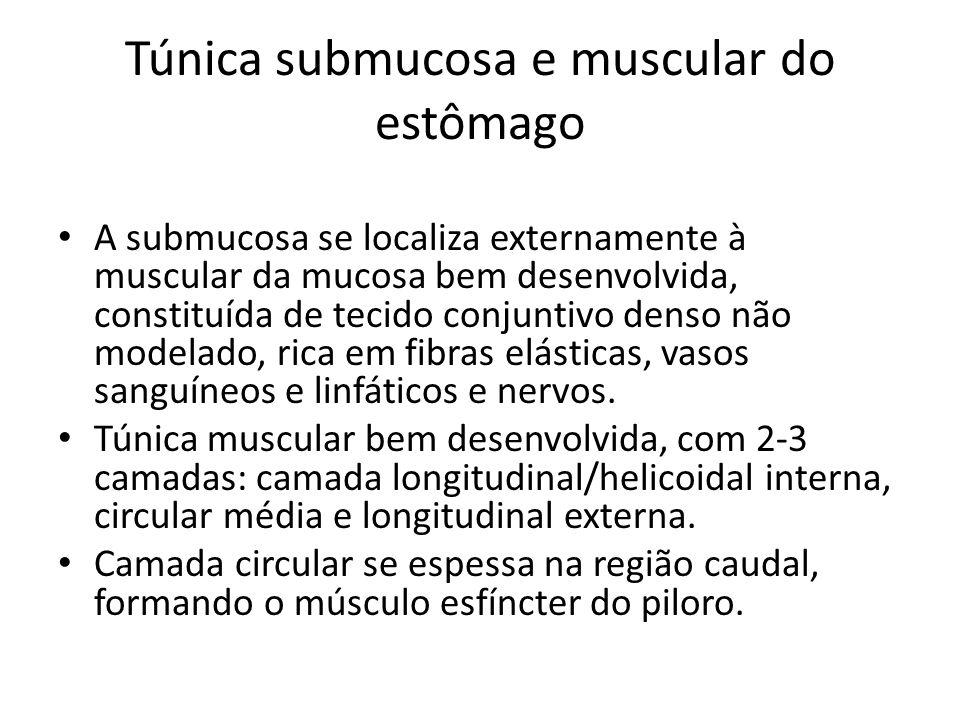 Túnica submucosa e muscular do estômago A submucosa se localiza externamente à muscular da mucosa bem desenvolvida, constituída de tecido conjuntivo d