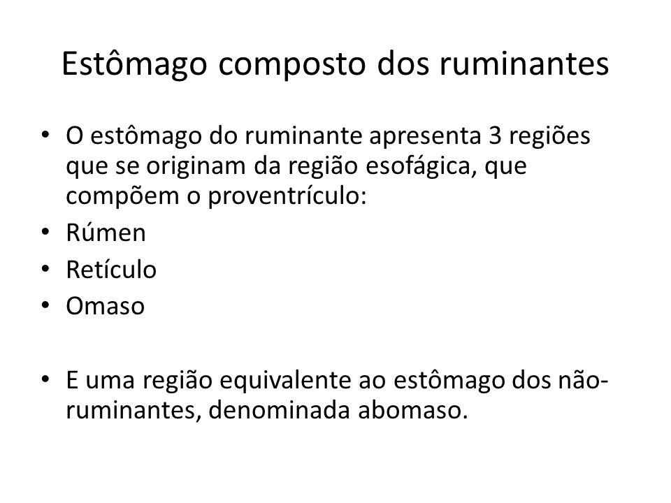 Estômago composto dos ruminantes O estômago do ruminante apresenta 3 regiões que se originam da região esofágica, que compõem o proventrículo: Rúmen R