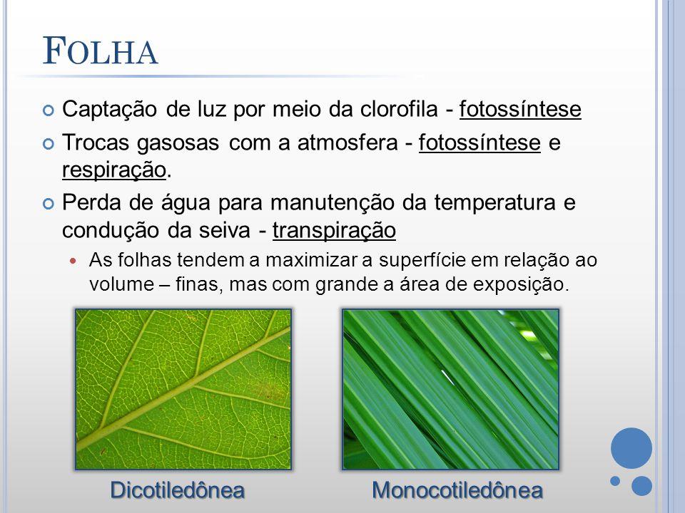 Captação de luz por meio da clorofila - fotossíntese Trocas gasosas com a atmosfera - fotossíntese e respiração. Perda de água para manutenção da temp