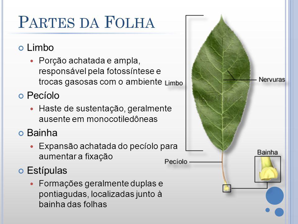 P ARTES DA F OLHA Limbo Porção achatada e ampla, responsável pela fotossíntese e trocas gasosas com o ambiente Pecíolo Haste de sustentação, geralment