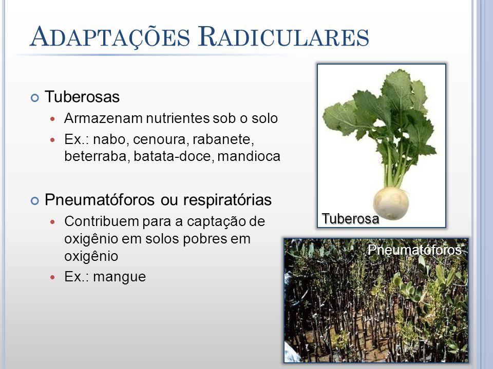 A DAPTAÇÕES R ADICULARES Tuberosas Armazenam nutrientes sob o solo Ex.: nabo, cenoura, rabanete, beterraba, batata-doce, mandioca Pneumatóforos ou res
