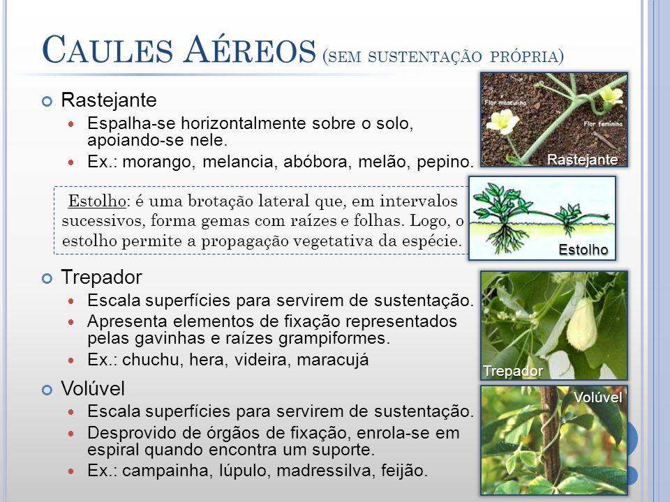 C AULES A ÉREOS ( SEM SUSTENTAÇÃO PRÓPRIA ) Rastejante Espalha-se horizontalmente sobre o solo, apoiando-se nele. Ex.: morango, melancia, abóbora, mel