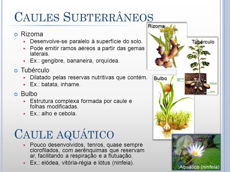 C AULES S UBTERRÂNEOS Rizoma Desenvolve-se paralelo à superfície do solo. Pode emitir ramos aéreos a partir das gemas laterais. Ex.: gengibre, bananei