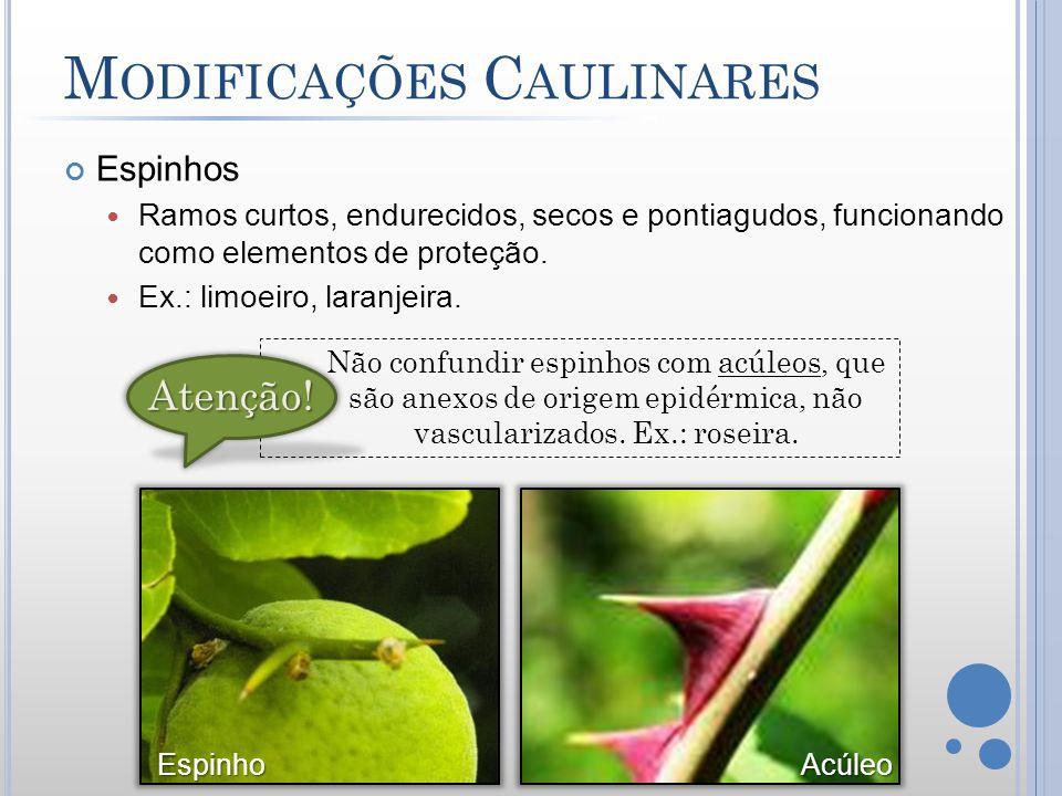 M ODIFICAÇÕES C AULINARES Espinhos Ramos curtos, endurecidos, secos e pontiagudos, funcionando como elementos de proteção. Ex.: limoeiro, laranjeira.