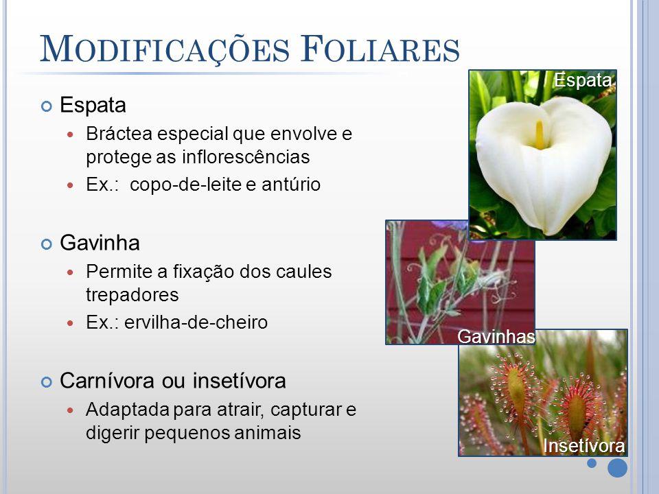 M ODIFICAÇÕES F OLIARES Espata Bráctea especial que envolve e protege as inflorescências Ex.: copo-de-leite e antúrio Gavinha Permite a fixação dos ca