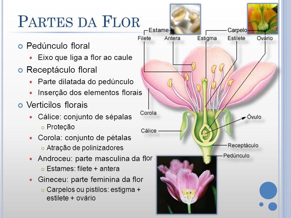 or P ARTES DA F LOR Pedúnculo floral Eixo que liga a flor ao caule Receptáculo floral Parte dilatada do pedúnculo Inserção dos elementos florais Verti