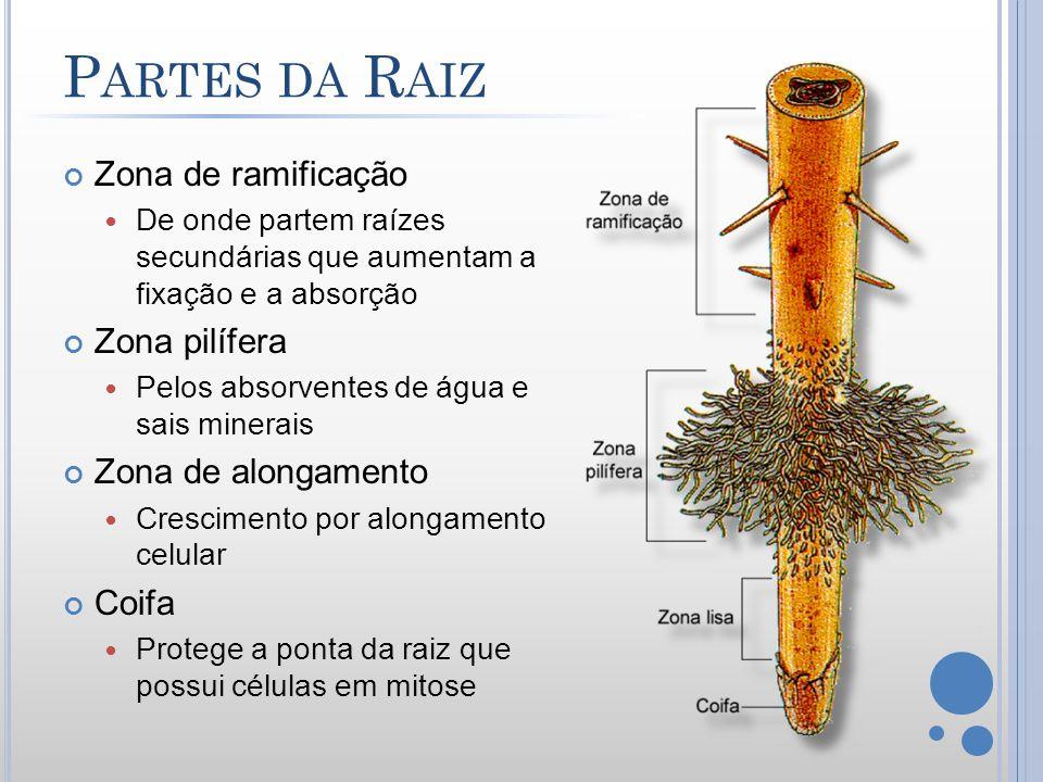 P ARTES DA R AIZ Zona de ramificação De onde partem raízes secundárias que aumentam a fixação e a absorção Zona pilífera Pelos absorventes de água e s