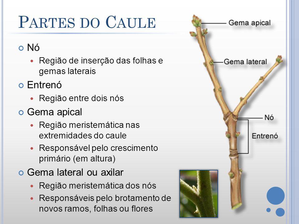 C AULES S UBTERRÂNEOS Rizoma Desenvolve-se paralelo à superfície do solo.