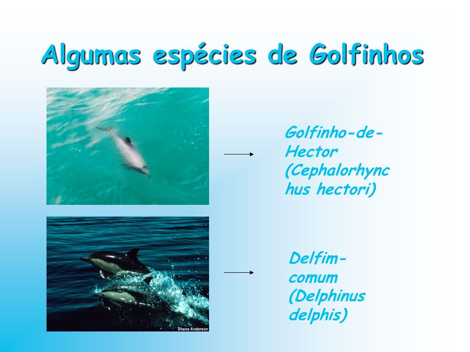 Algumas espécies de Golfinhos Golfinho-de- Hector (Cephalorhync hus hectori) Delfim- comum (Delphinus delphis)