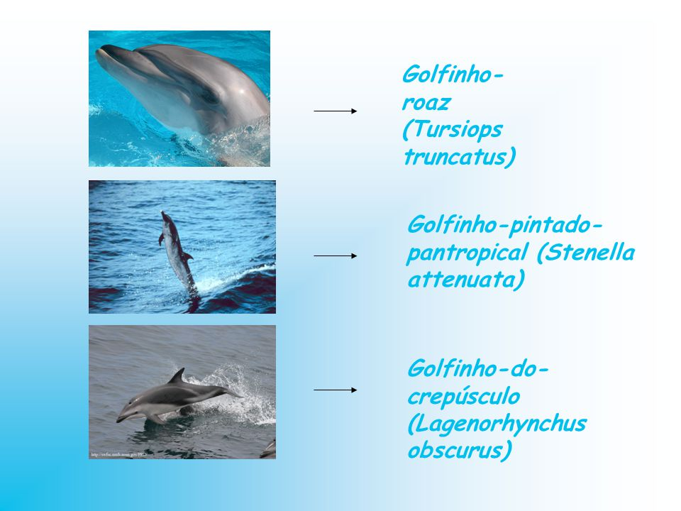 Golfinho- roaz (Tursiops truncatus) Golfinho-pintado- pantropical (Stenella attenuata) Golfinho-do- crepúsculo (Lagenorhynchus obscurus)