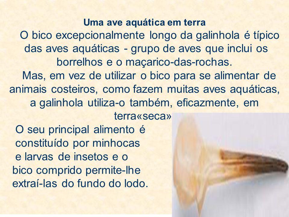 Uma ave aquática em terra O bico excepcionalmente longo da galinhola é típico das aves aquáticas - grupo de aves que inclui os borrelhos e o maçarico-