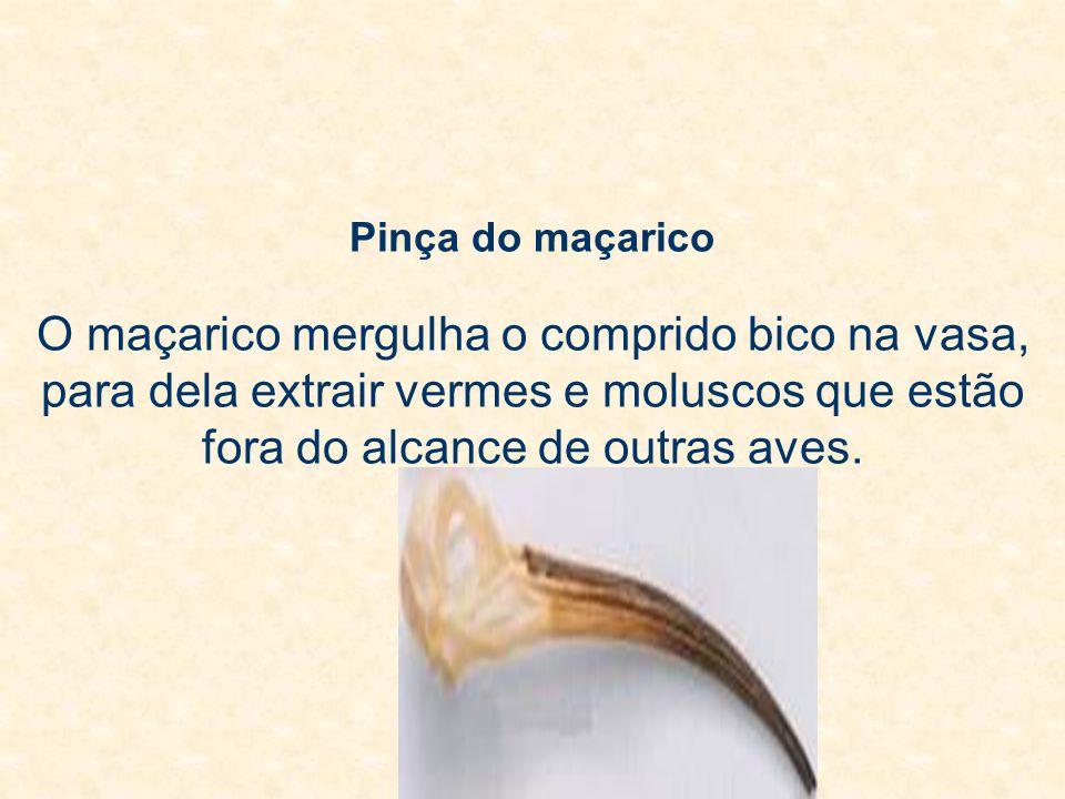 Pinça do maçarico O maçarico mergulha o comprido bico na vasa, para dela extrair vermes e moluscos que estão fora do alcance de outras aves.