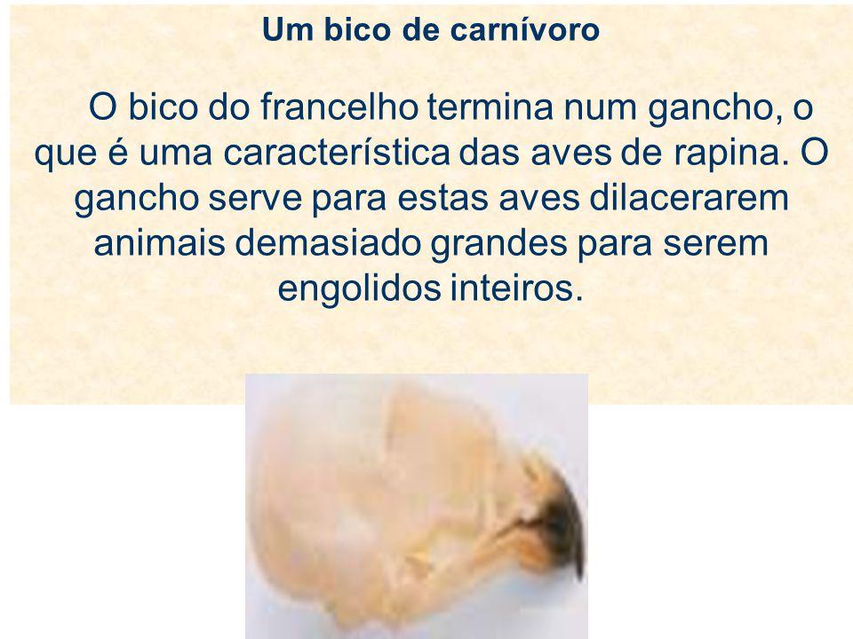 Um bico de carnívoro O bico do francelho termina num gancho, o que é uma característica das aves de rapina. O gancho serve para estas aves dilacerarem