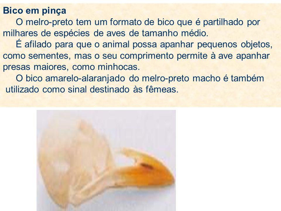 Bico em pinça O melro-preto tem um formato de bico que é partilhado por milhares de espécies de aves de tamanho médio. É afilado para que o animal pos