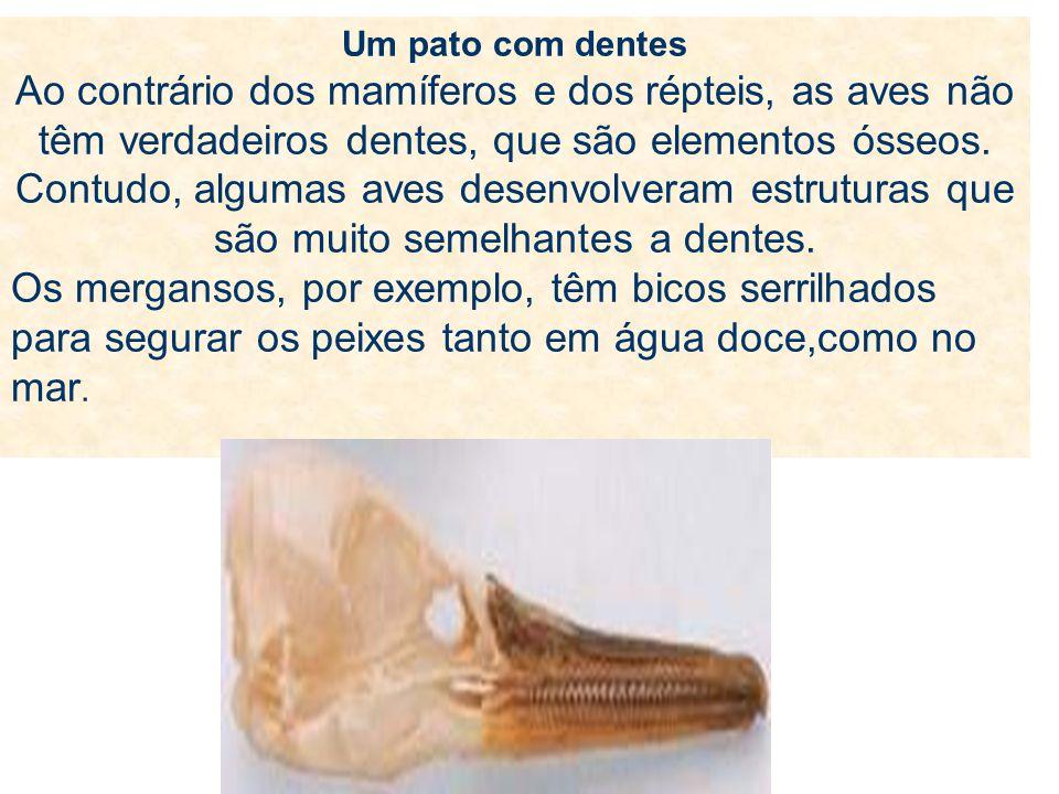 Um pato com dentes Ao contrário dos mamíferos e dos répteis, as aves não têm verdadeiros dentes, que são elementos ósseos. Contudo, algumas aves desen