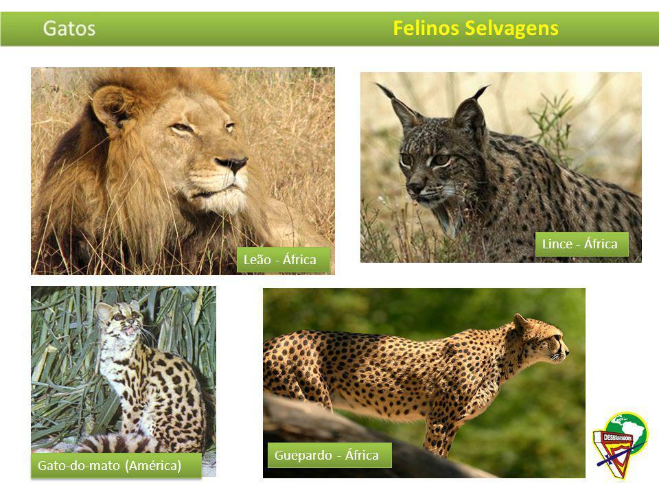 Lince - África Guepardo - África Gato-do-mato (América) Leão - África Felinos Selvagens