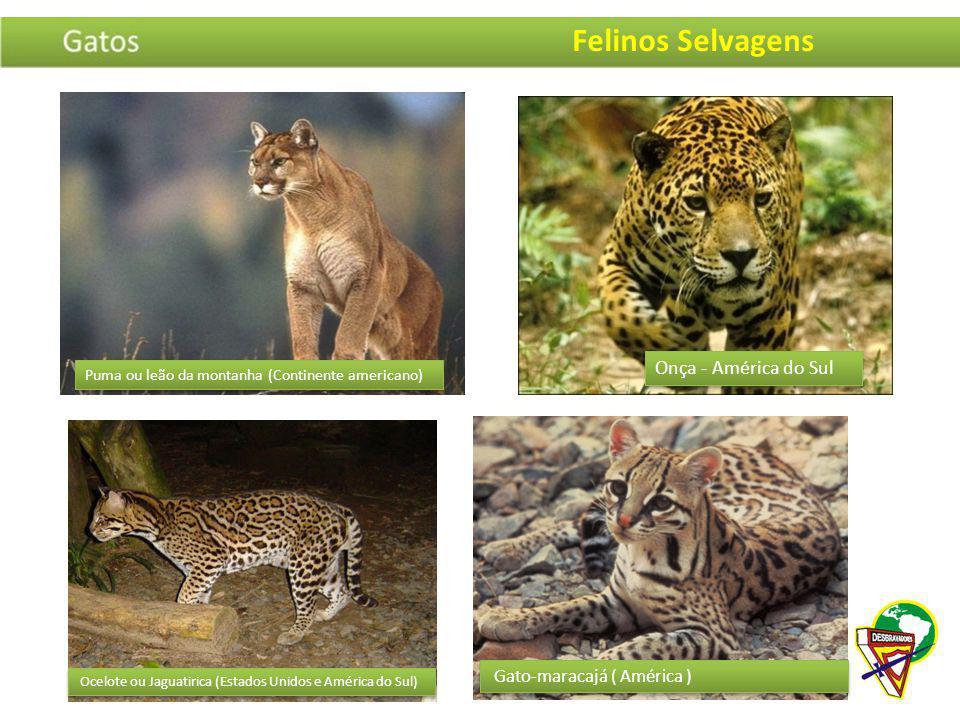 Puma ou leão da montanha (Continente americano) Onça - América do Sul Ocelote ou Jaguatirica (Estados Unidos e América do Sul) Gato-maracajá ( América