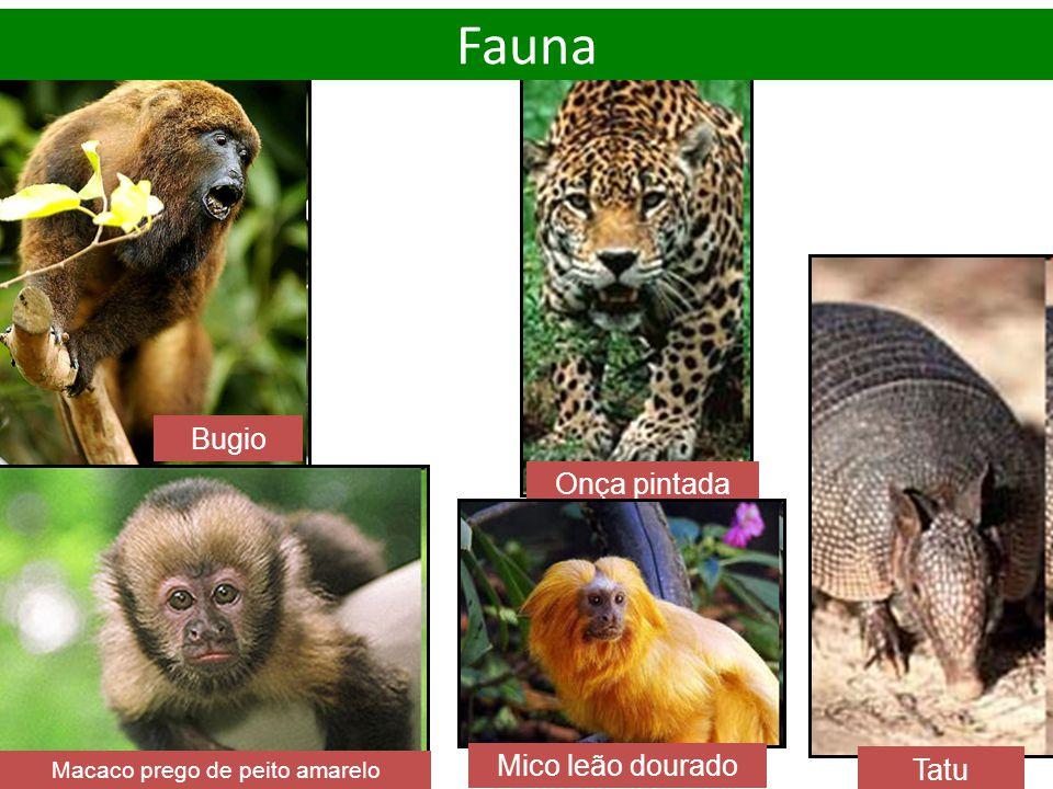 Macaco prego de peito amarelo Onça pintada Tatu Bugio Mico leão dourado Fauna