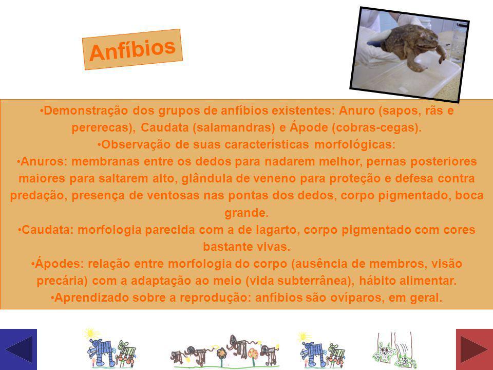 Demonstração dos grupos de anfíbios existentes: Anuro (sapos, rãs e pererecas), Caudata (salamandras) e Ápode (cobras-cegas). Observação de suas carac