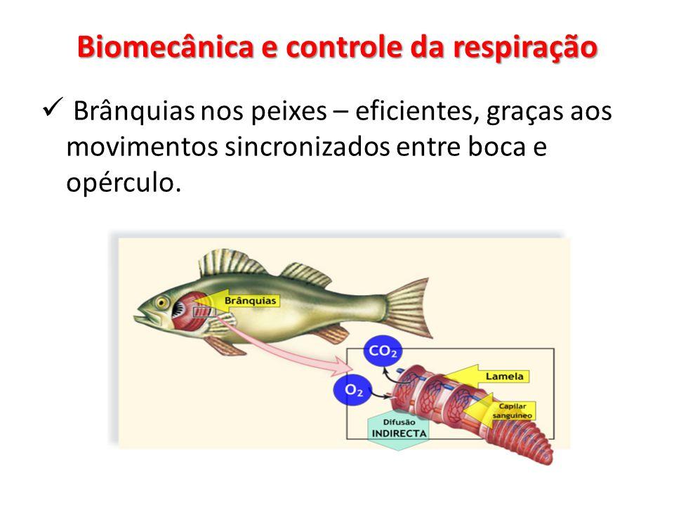 Brânquias nos peixes – eficientes, graças aos movimentos sincronizados entre boca e opérculo.