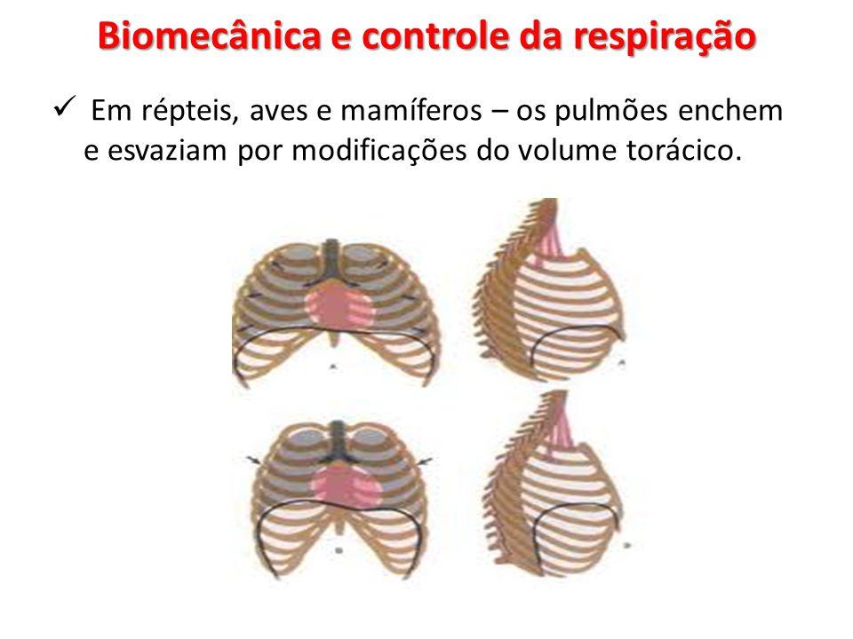 Biomecânica e controle da respiração Em répteis, aves e mamíferos – os pulmões enchem e esvaziam por modificações do volume torácico.