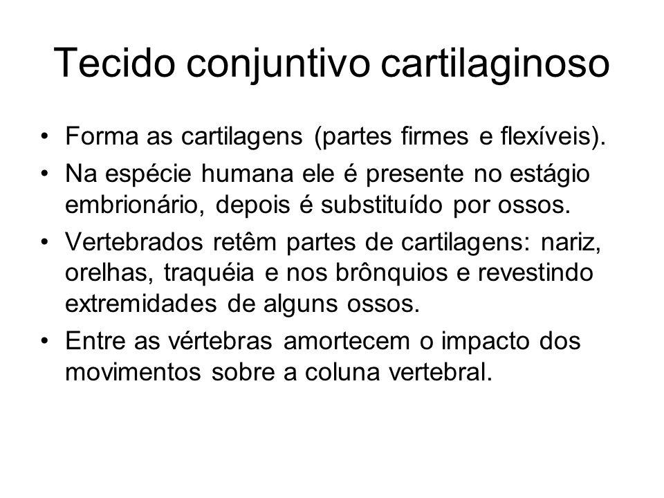 Tecido conjuntivo cartilaginoso Forma as cartilagens (partes firmes e flexíveis).