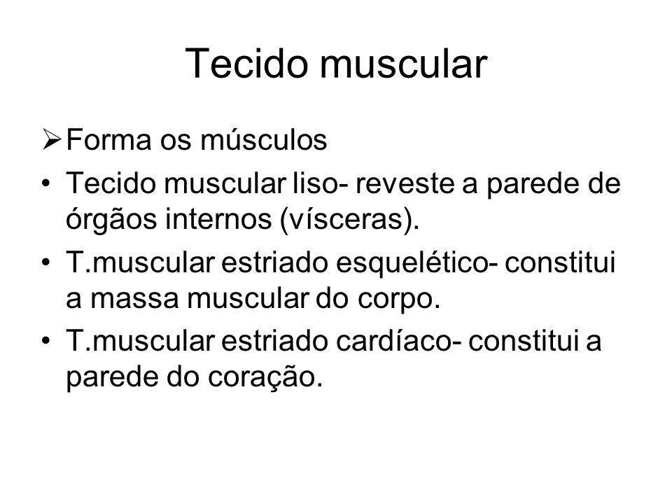 Tecido muscular Forma os músculos Tecido muscular liso- reveste a parede de órgãos internos (vísceras). T.muscular estriado esquelético- constitui a m