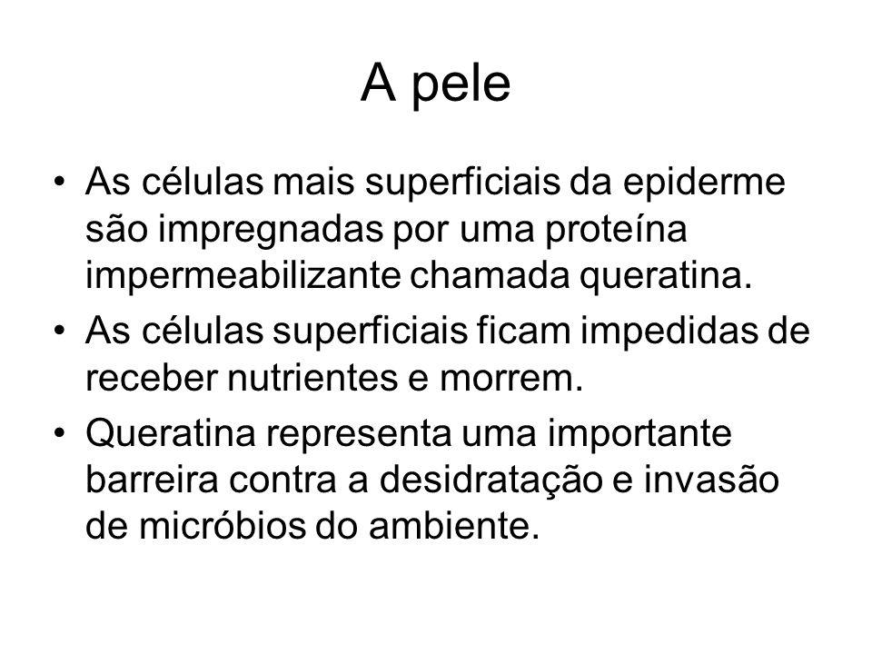 A pele As células mais superficiais da epiderme são impregnadas por uma proteína impermeabilizante chamada queratina.