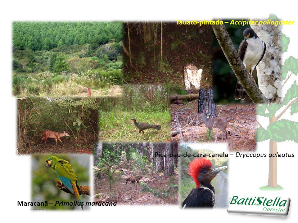 Pica-pau-de-cara-canela – Dryocopus galeatus Maracanã – Primolius maracana Tauató-pintado – Accipiter poliogaster