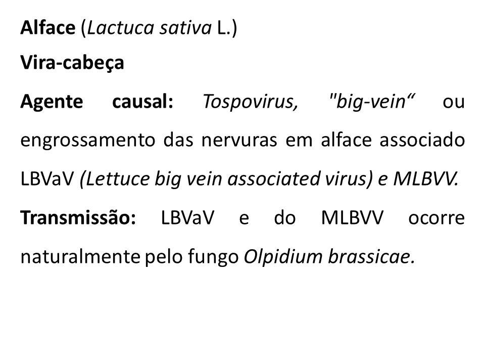 Alface (Lactuca sativa L.) Vira-cabeça Agente causal: Tospovirus,