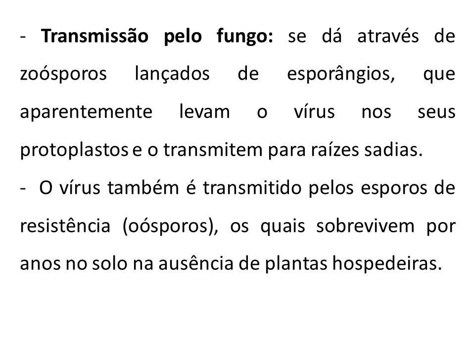 - Transmissão pelo fungo: se dá através de zoósporos lançados de esporângios, que aparentemente levam o vírus nos seus protoplastos e o transmitem par