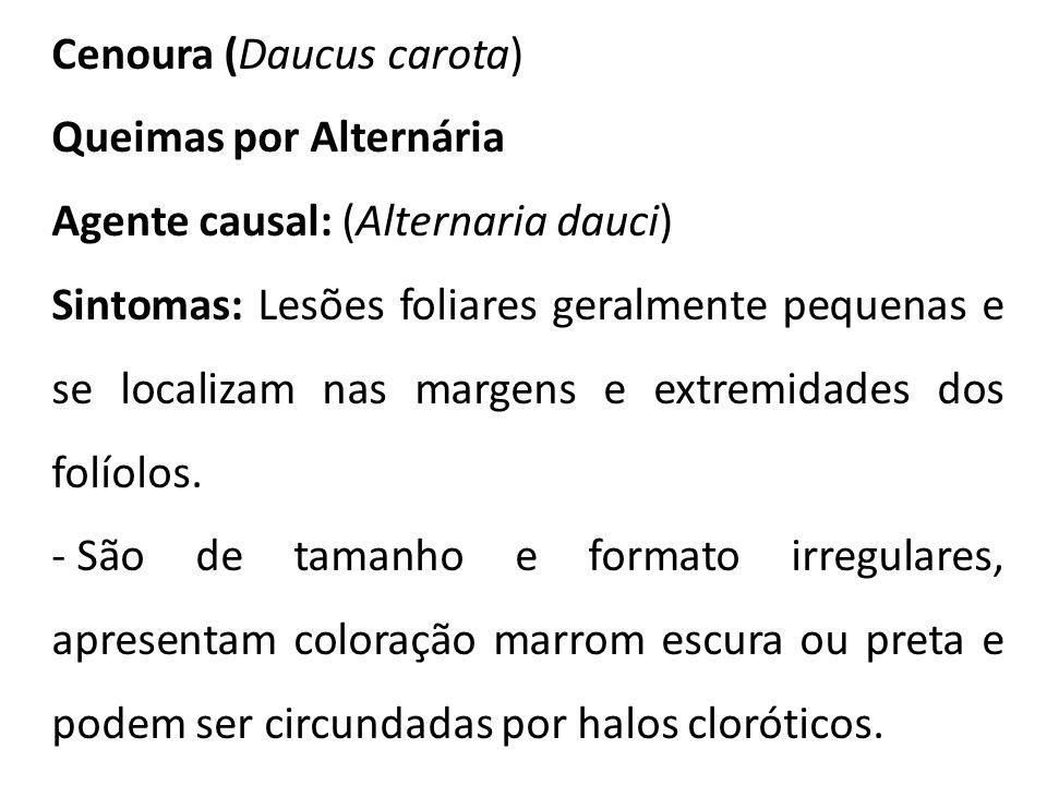 Cenoura (Daucus carota) Queimas por Alternária Agente causal: (Alternaria dauci) Sintomas: Lesões foliares geralmente pequenas e se localizam nas marg
