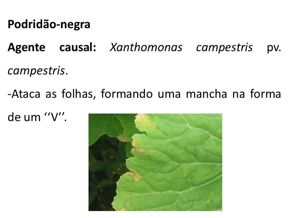 Podridão-negra Agente causal: Xanthomonas campestris pv. campestris. -Ataca as folhas, formando uma mancha na forma de um V.