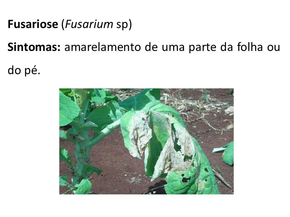 Fusariose (Fusarium sp) Sintomas: amarelamento de uma parte da folha ou do pé.