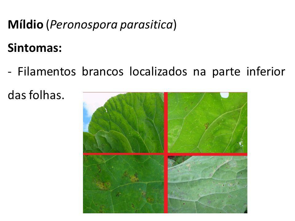Míldio (Peronospora parasitica) Sintomas: - Filamentos brancos localizados na parte inferior das folhas.